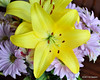 "Yellow Lillies<br /> POTD 6/26/2011<br /> <br /> These beautiful flowers are in a vase on the dining room table and were the first thing I saw this morning.  Two other views can be seen here:  <a href=""http://www.edspadoni.com/Photography/And-then-some/17464620_7VVxbD"">http://www.edspadoni.com/Photography/And-then-some/17464620_7VVxbD</a>.  I had a tough call deciding which to feature today.  Your thoughts?"
