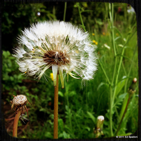 Dandelion<br /> Trying a new iPhone 4's camera on a walk about town.<br /> POTD 5/23/2011