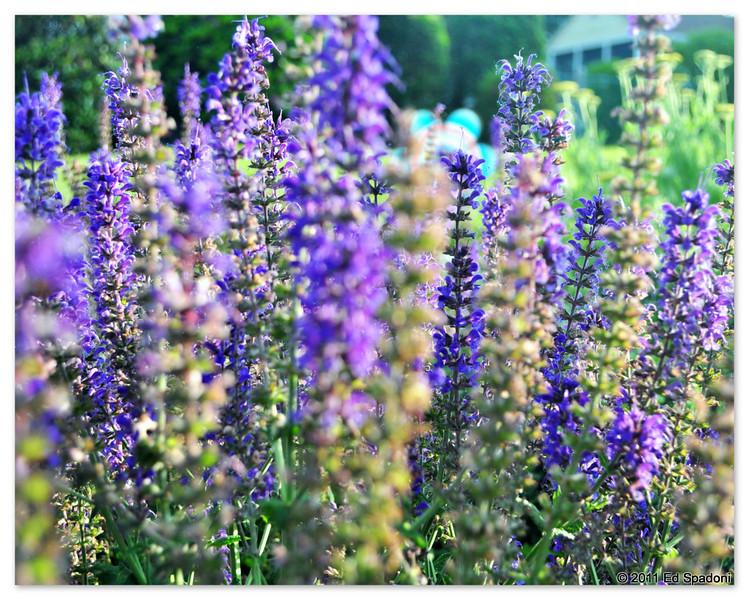 Purple sage<br /> <br /> POTD 6/15/2011