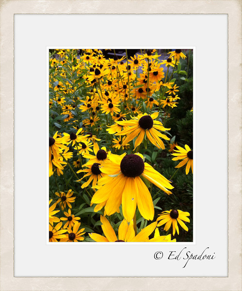 Black Eyed Susans<br /> POTD 7/26/2011