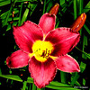Red Lily, Cape Cod<br /> POTD 8/17/2011<br /> My trusty old Canon P&S comes through again.  (Best viewed X+)