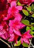 "Further research tells me this is a ""Satin Robe"" Azalea<br /> 5/9/2010<br /> Happy Mothers Day!"