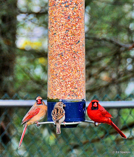 "Mr. & Mrs. Cardinal, and their (adopted) daughter stopped by for dinner.**<br /> 4/23/2010<br /> **Truth in photography warning:  Try as I might, I couldn't get a shot of the Mr. and Mrs. both perched visibly at the same time.  So I composited two shots in to this one.  To see a collage of the two original shots, please click here  <a href=""http://bit.ly/8XVOvo"">http://bit.ly/8XVOvo</a> (and don't tell anyone)."
