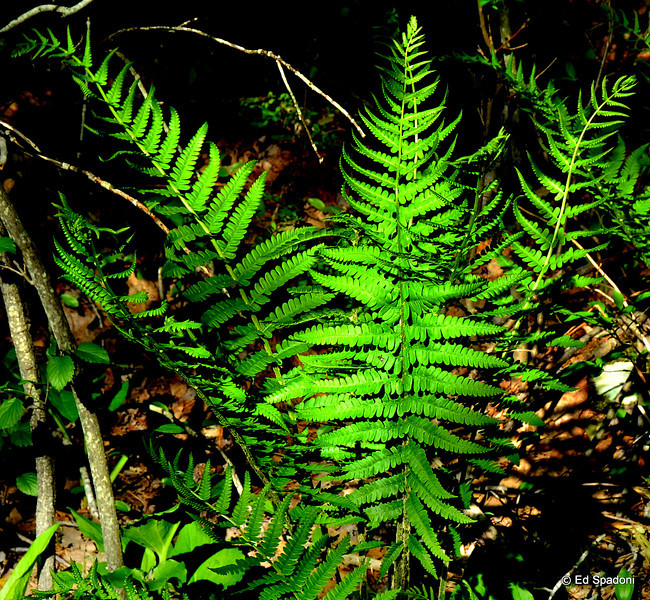 Ferns in the forest<br /> 5/16/2010<br /> Moose Hill Wildlife Sanctuary, Sharon, Ma