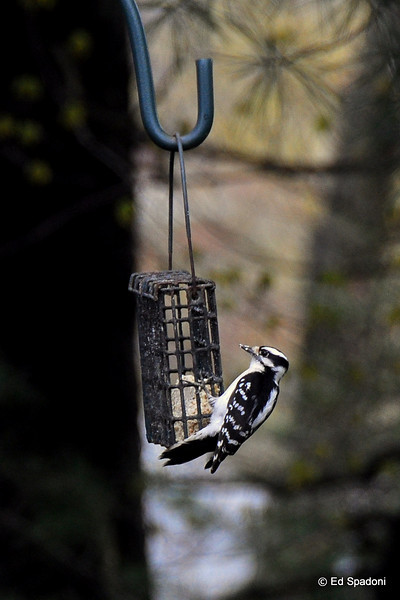 A downy woodpecker pays us a visit. <br /> 4/22/2010