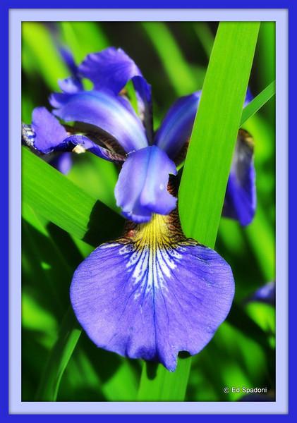 Iris, blue<br /> 6/06/2010