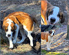 "This is Lappa!<br /> 3/9/2010<br /> I met Lappa (Russian for ""big feet"") during a short walk at a nearby park yesterday.  His owner Alexander told me that Lappa is ""a rambunctious, teen-aged Saint Bernard"", and he was so right.  A beautiful dog, he was bursting with energy, and had no trouble leaping such that he and I were eye to eye (I'm 6'2""!).  Alexander was camera-shy but as you can see, Lappa was not."