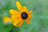 Black-Eyed Susan<br /> 8/24/2010