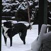 December 7, 2009<br /> <br /> Snow dog...... Suzy..........