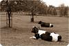10-06-2012 : Sepia cows