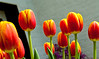 09-05-2012 : More tulips