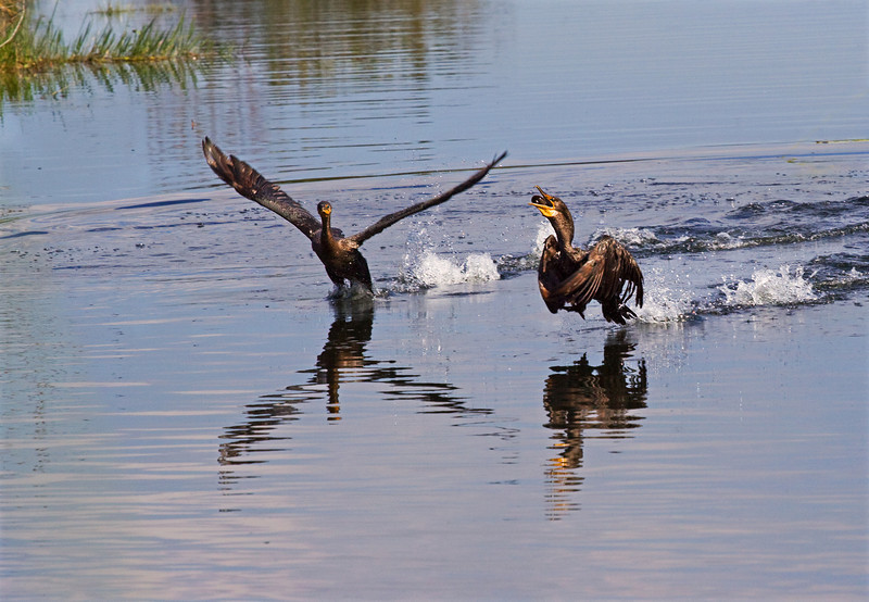 11 Dec: Cormorant way to play keep-away...