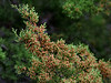 "13 Jan: Mountain Cedar:  the main material source for the mulch mountain.  (an attempt to answer that day-old question, ""Where does the mulch come from""?)<br /> <br /> <br /> Hardy, scruffy, and very slow growing, it's the most prevalent tree in this area and the only one in the world that pollinates in the dead of winter.  When some of the normally green leaves turn to reddish brown, they are primed for the wind, an animal, or a bird to send a puff of fine white to yellow powder exploding out, looking for a …. mate.  All too often, that mate is a human nose.  Those allergic to ANYTHING will most likely suffer horribly during the blooming season.  One of my planned projects was to photograph a 'puff', but considering yesterday's mulch mountain story and how wet its been, this is what you get -- just imagine powder flying off the branch. <br /> <br /> San Antonio and the surrounding areas are growing at a tremendous rate and acres of trees give way every day to new homes and new McDonalds.  The trees are shredded and piled, so the homes and McDonalds have a nearby source of mulch. Most new home builders go out of their way to cut ALL the cedars, whether or not they interfere with their buildings. Some of my neighbors probably curse me every day for not taking out all mine, but at least a small piece of natural habitat is still intact for the birds and beasts -- ok, maybe not beasts, but.... critters.<br /> <br /> So, between normal clearing and the needless slaughter of the cedars, there are several of the mulch piles around the area, but this is the only one I know large enough to be called a mountain.   <br /> <br /> …..the other question , are they big enough to slide through? -- well, perhaps that would be determined by the size of the slider….."