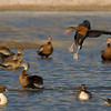12 Jan: Black-bellied Whistling Ducks...Mystery Ducks...Pintails...