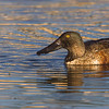 26 Jan: Northern Shoveler