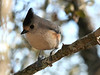 19 Mar:  Tufted Titmouse -- one of the two one-eyed birds that frequent my feeder.