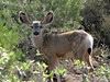19 Oct:  For some unknown reason, they're called mule deer...