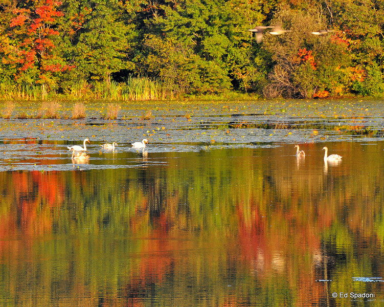 Swans, geese, early colors<br /> 9/29/09