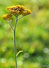 Last bloom of the Golden Yarrow<br /> 9/1/09