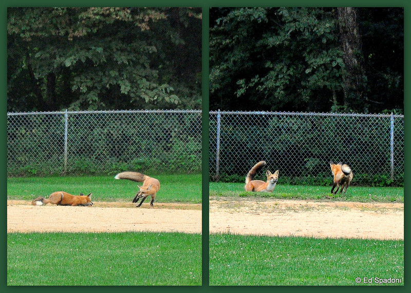 Red Fox steals third<br /> 9/9/09<br /> <br /> Driving to work this morning, I happened to look into the neighborhood ballpark on my way past.  I was surprised to see three young red foxes playing and running between 2nd and 3rd base.  These were two of their more frolicksome poses.  Once they spied me, they ambled into the woods behind left field.  <br /> <br /> I'll be looking again tomorrow.