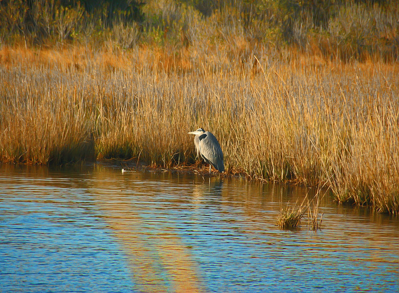 Majestic Heron.  Chincoteague Island, Virginia