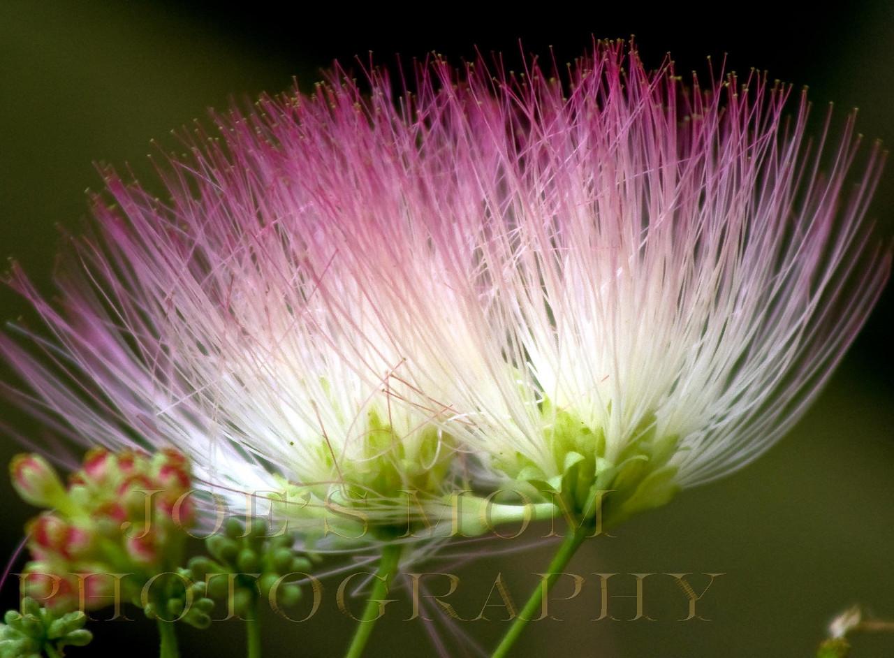 Mimosa splendor