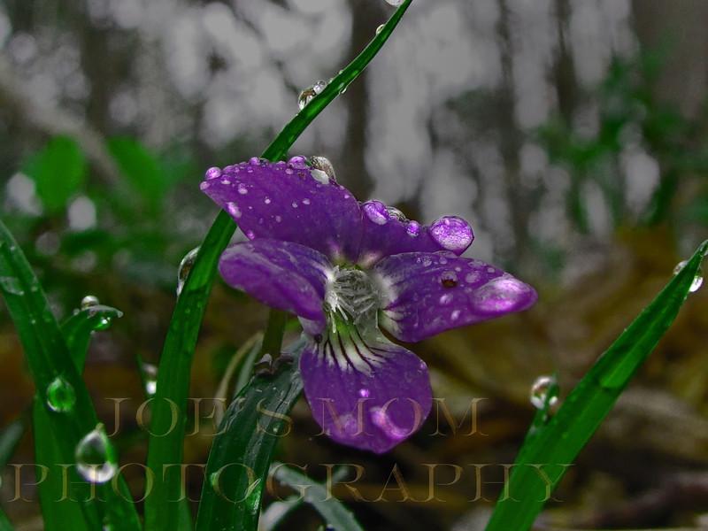 Viola drops