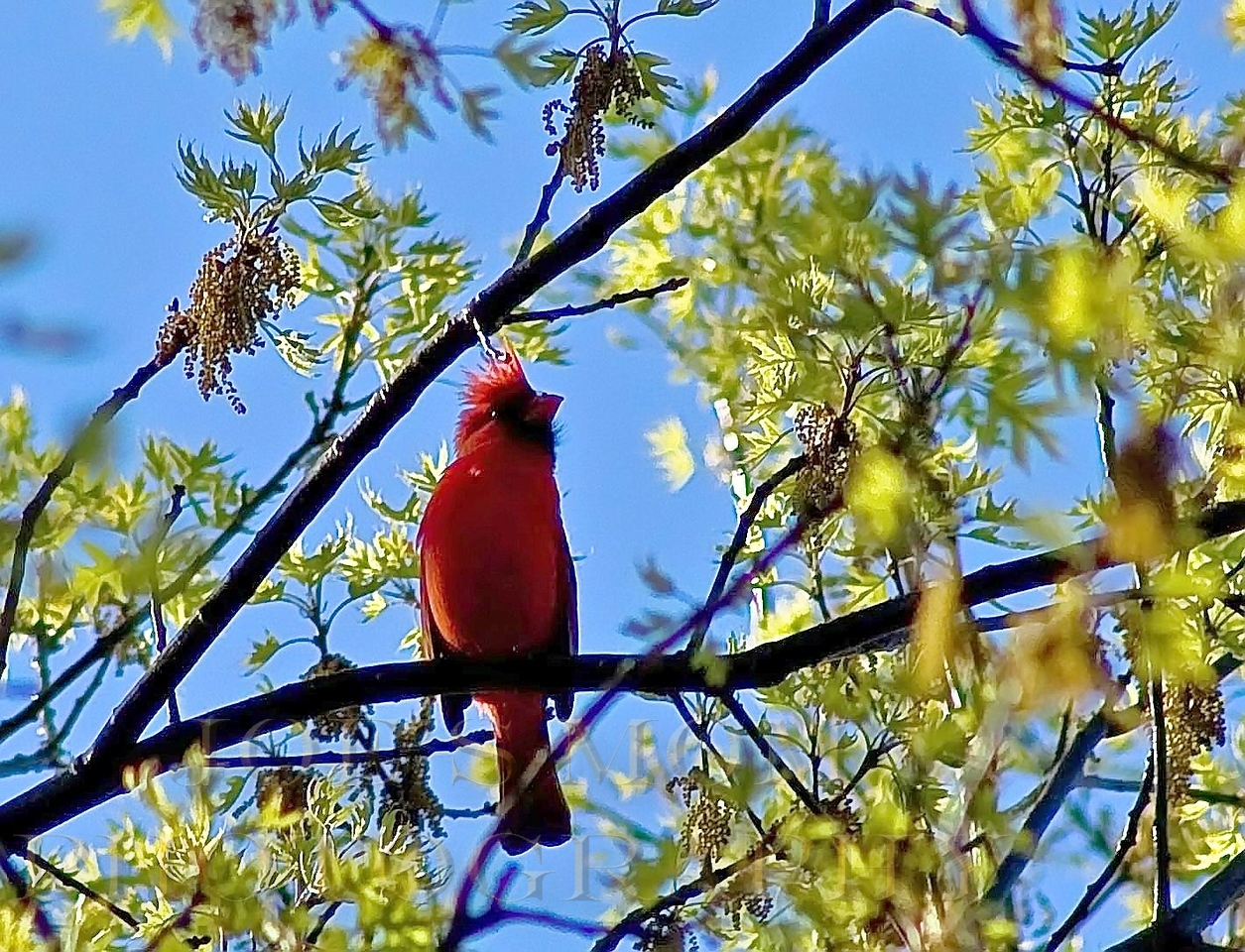 "Singing.....<br /> My son filled me in on a new term ""feau hawk""---it's a mohawk but only in the front!--I geuss it's better then having a ""D A"" in the front! --This cardinal just reminded me of the term---I'd never heard it before--of course he didn't know what a ""D A"" was either! LOL"