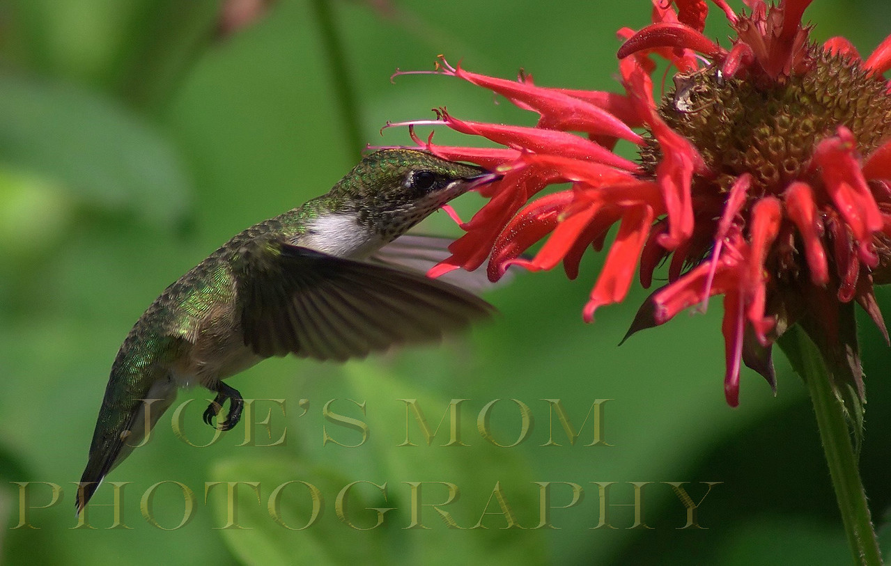 Female Rufous Hummingbird--enjoying my Monarda