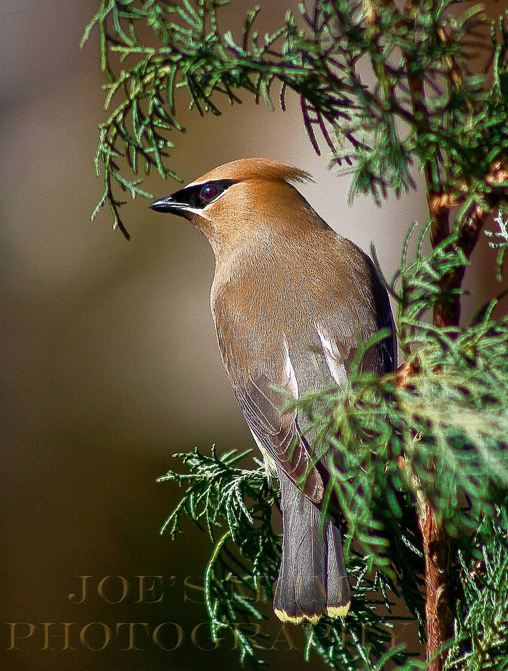 Cedar Waxwing...on cedar!