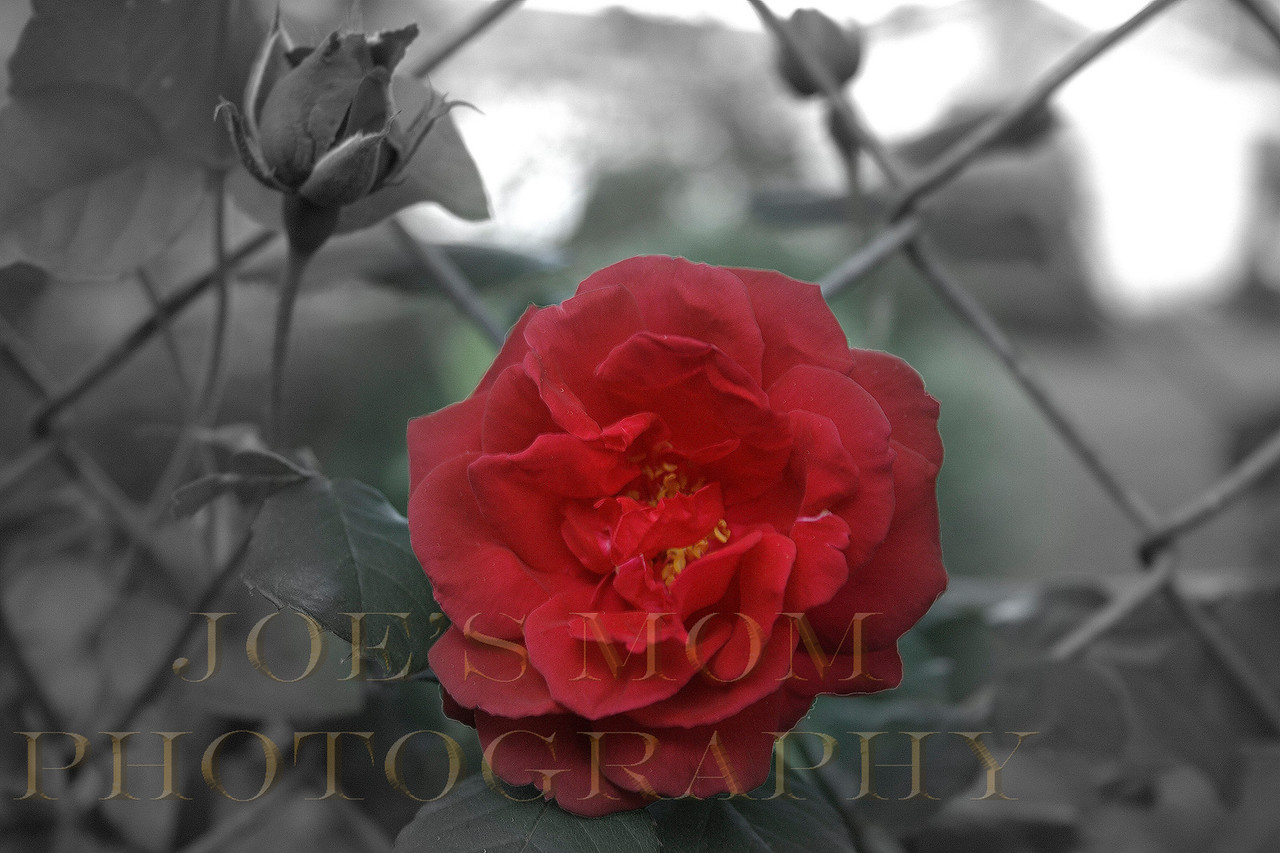 Every Rose has it's thorns....