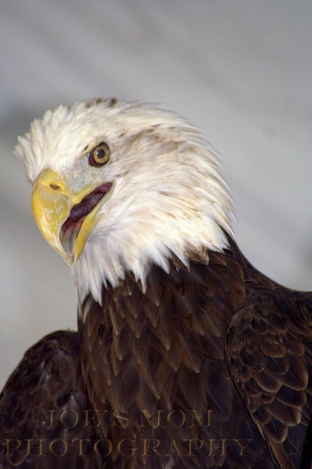 """Meet """"Haili""""---a Rescued Eagle at the Eagle festival"""