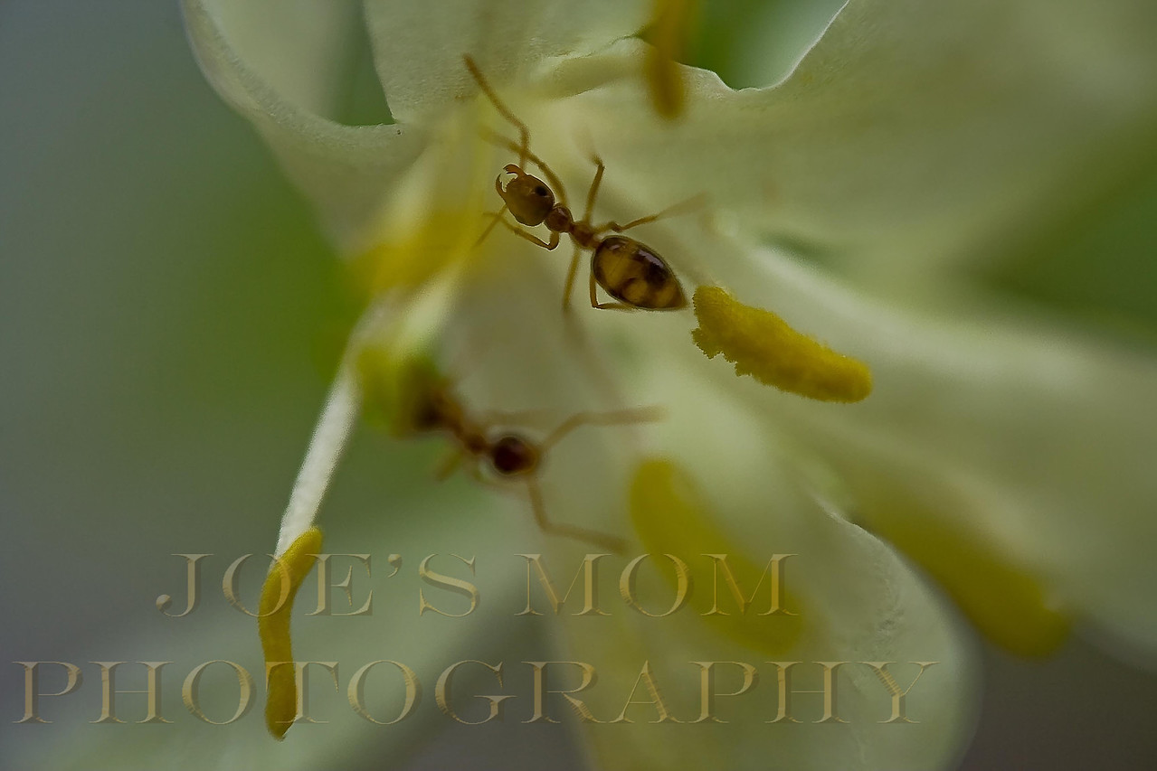 Ants searching a flower for it's nectar