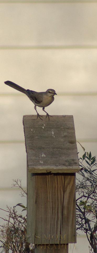 Mocking a bluebird