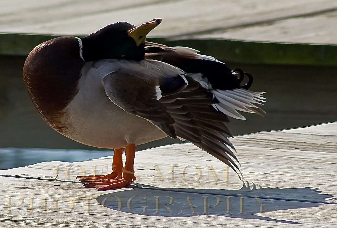 """He makes my neck hurt!!--This guy really fits the title """"odd duck"""" :)"""