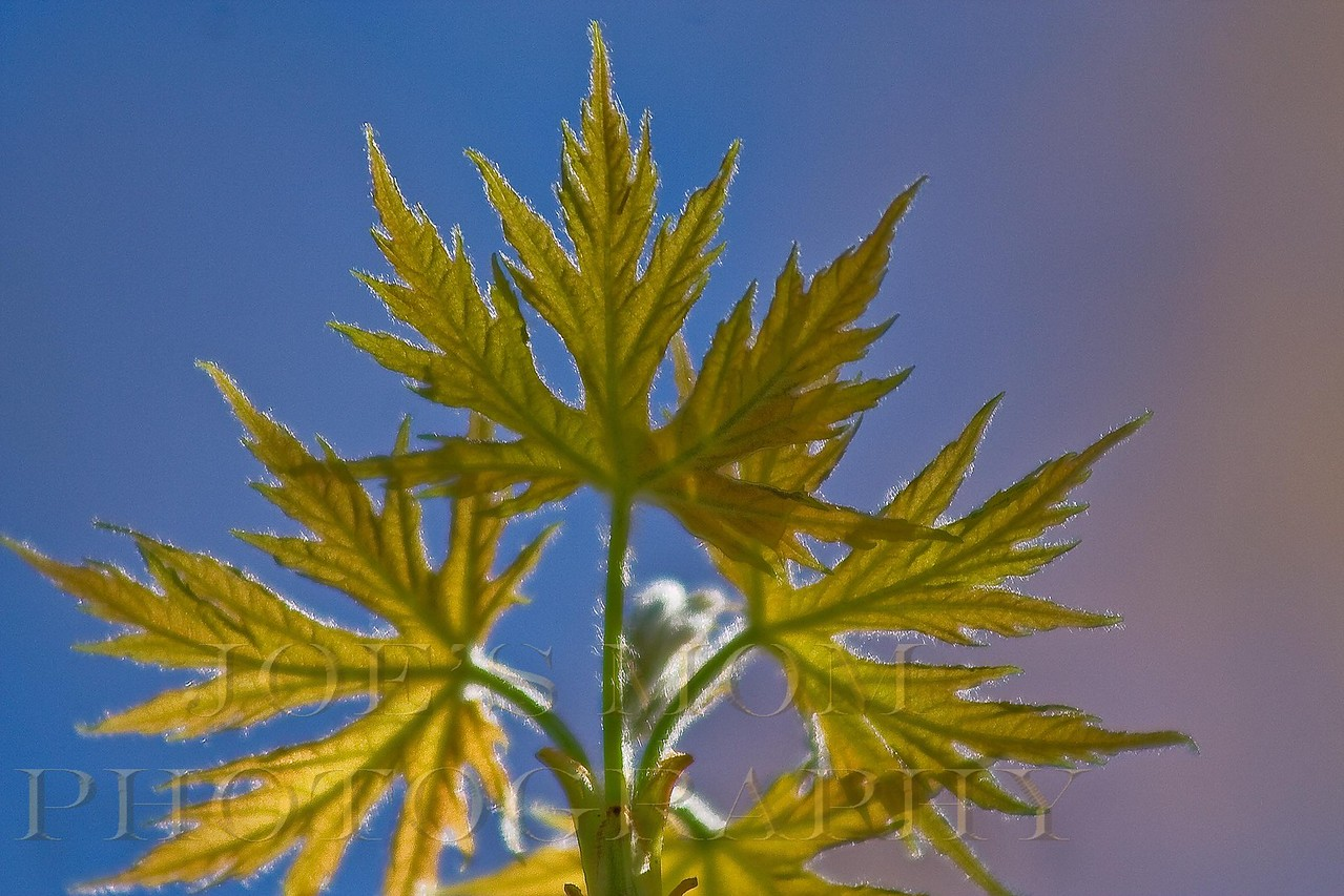 New maple leaves busting out in the sunshine--just could'nt resist the architecture with the blue sky background.