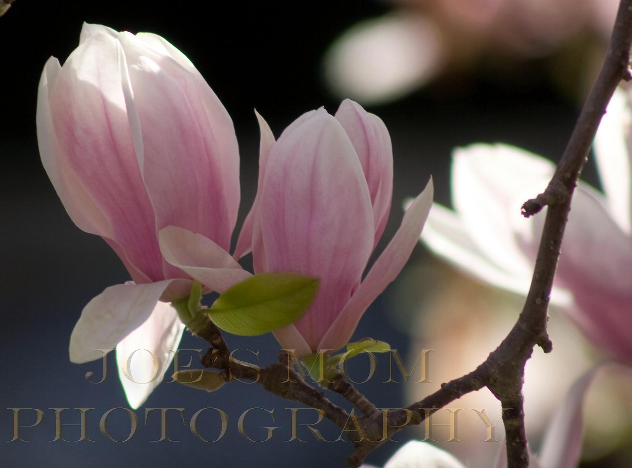 Easter Morning..Magnolia blossoms in the sunshine