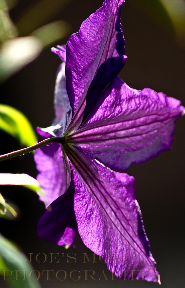 Sunlit clematis.....such an amazing purple.