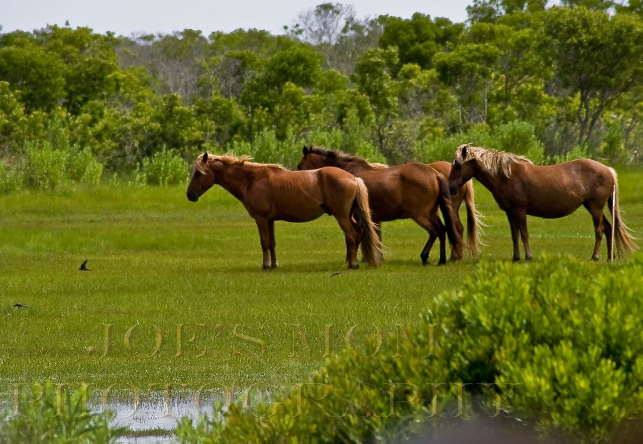 Assateague Ponies sleeping in the afternoon sun....