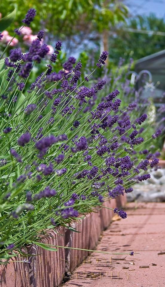 Down the Lavender path