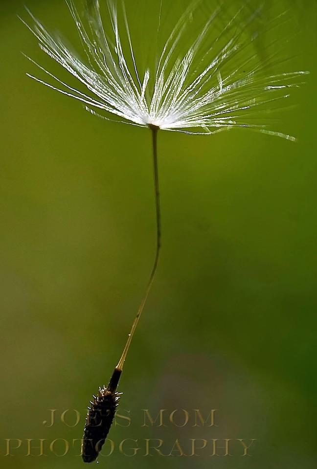 A Dandy Seed