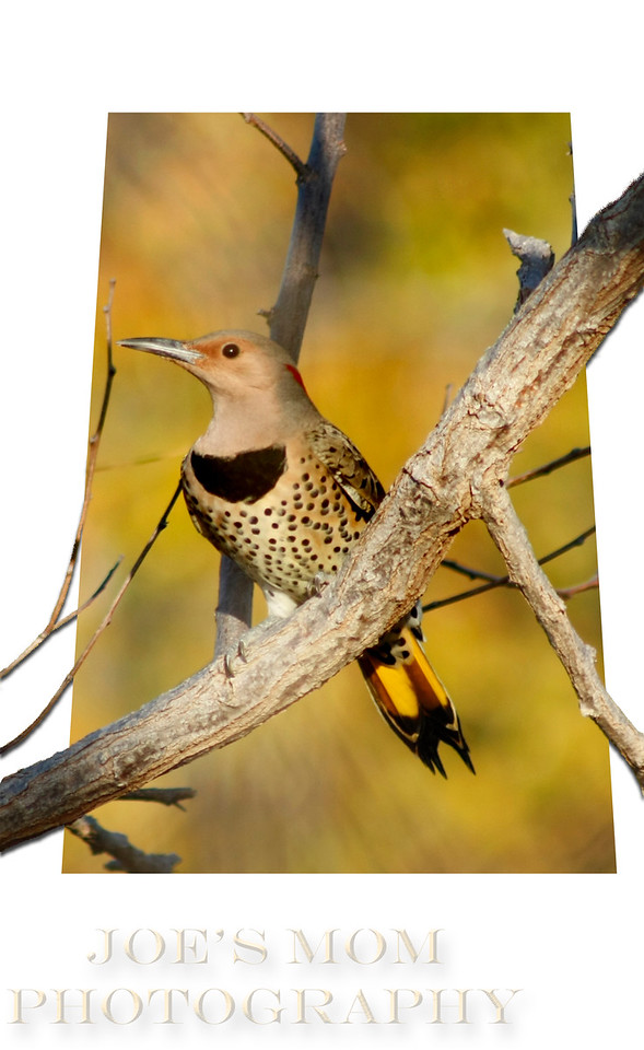 "Northern ""Yellow Shafted"" Flicker--in the right place at the right time!"