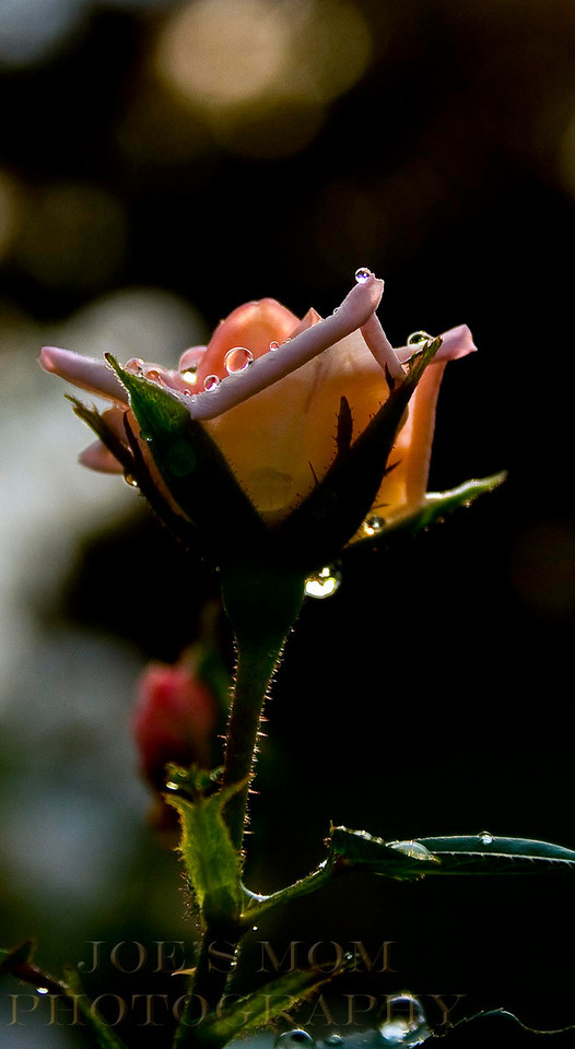 Raindrops on roses.....