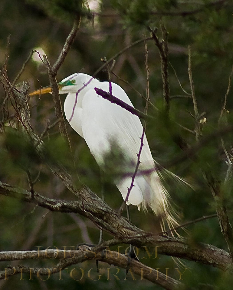"""Peeking through the trees, this Great Egret was sporting it's """"mating attire""""."""