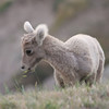 2 Sep: Little Bighorn (sheep)...