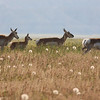 4 Sep: Pronghorn Antelope.