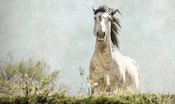 July 7 - Watching<br /> <br /> A wild mustang stallion watching me while protecting his band in the badlands of North Dakota