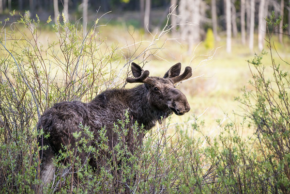 July 14 - In The Willows<br /> <br /> Taken in the Big Horn Mountain Range of Wyoming - young bull still forming his antlers