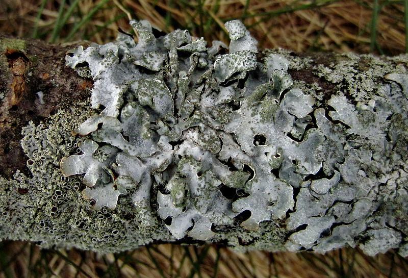 4/12   Star Rosette Lichen