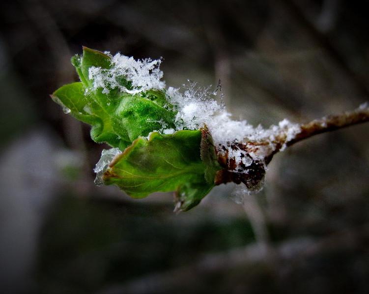 4/16   Snow Buds